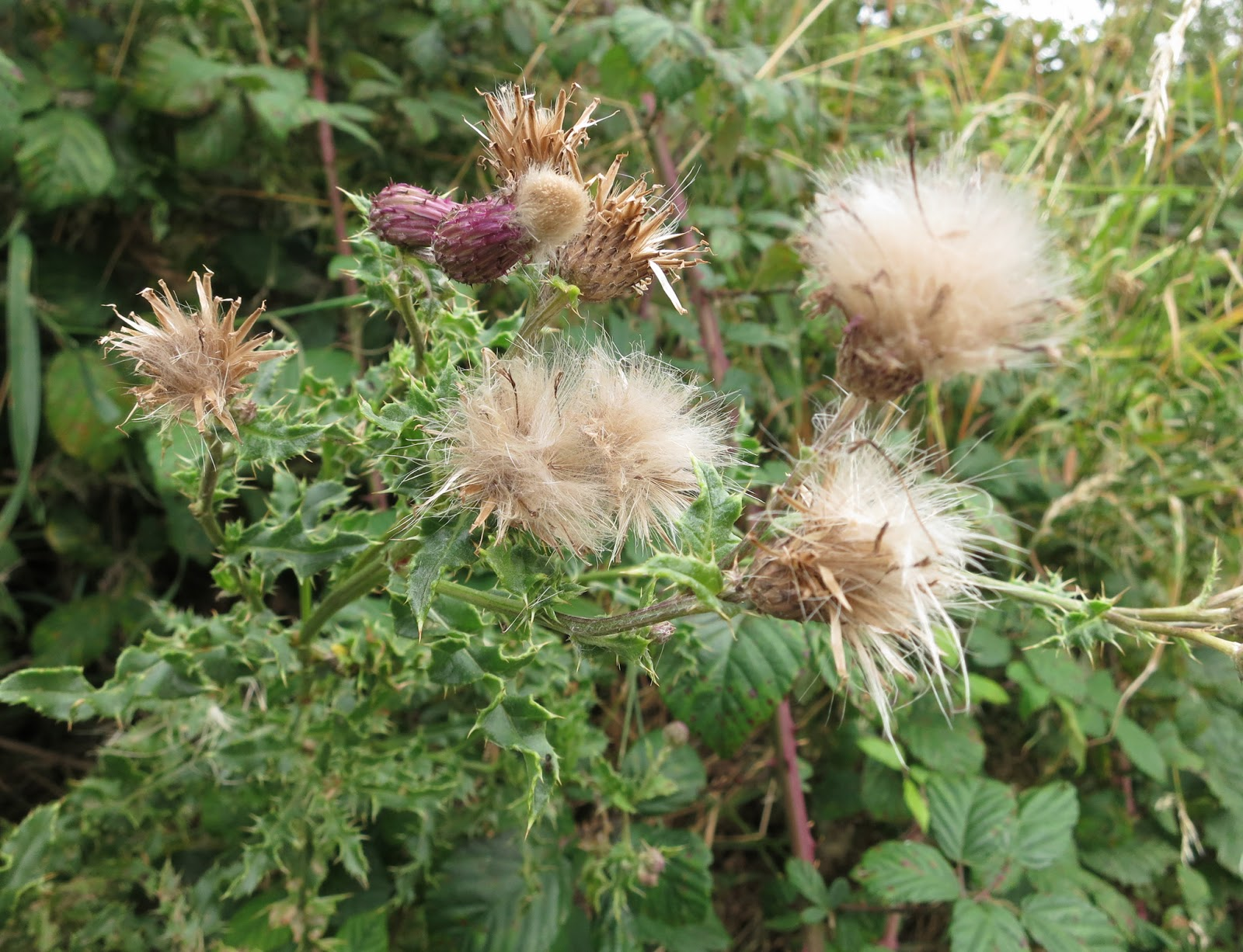 Thistle with flowers turning to seeds and leaves looking like holly leaves