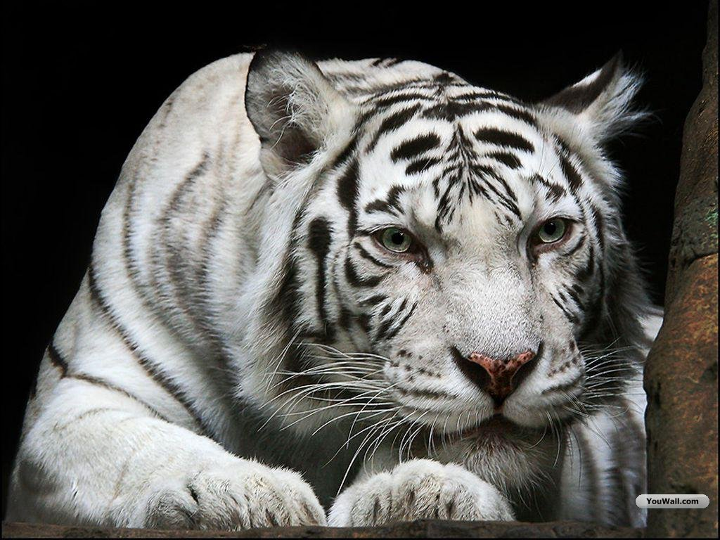 White bengal tiger wallpapers - photo#6