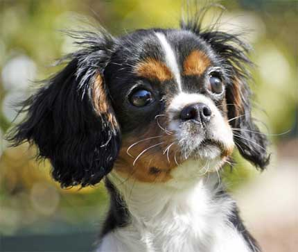 Cutest Dog Breeds In The World Cavalier King Charles Spaniels