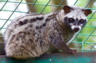 malayan civet