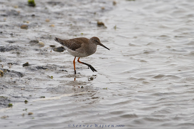 Tureluur - Common Redshank - Tringa Totanus