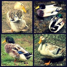 Silver Appleyard Ducks