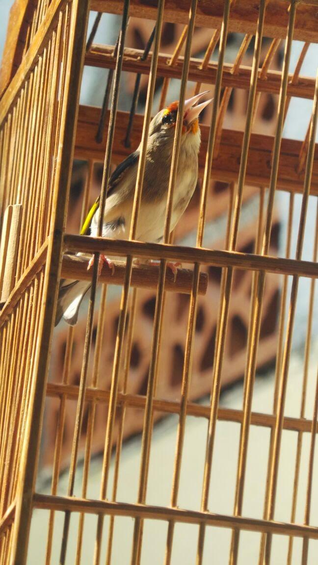 barang bekas himalaya burung barang bekas burung