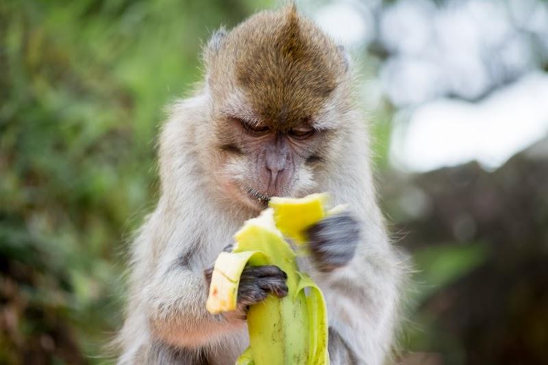 Portrait d'un singe qui mange une banane à Grand Bassin, Ile Maurice