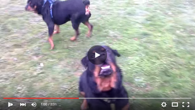 Rottweiler Attacks Owner During Play Time