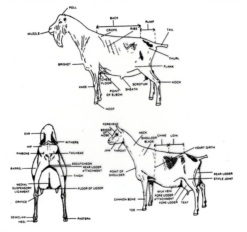 Agrihunt Diagram Of Goat Farm: Parts Of The Hoof Diagram At Sergidarder.com