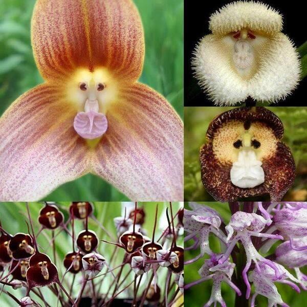Hanuman-mukhi-orchid-monkey-face-orchid