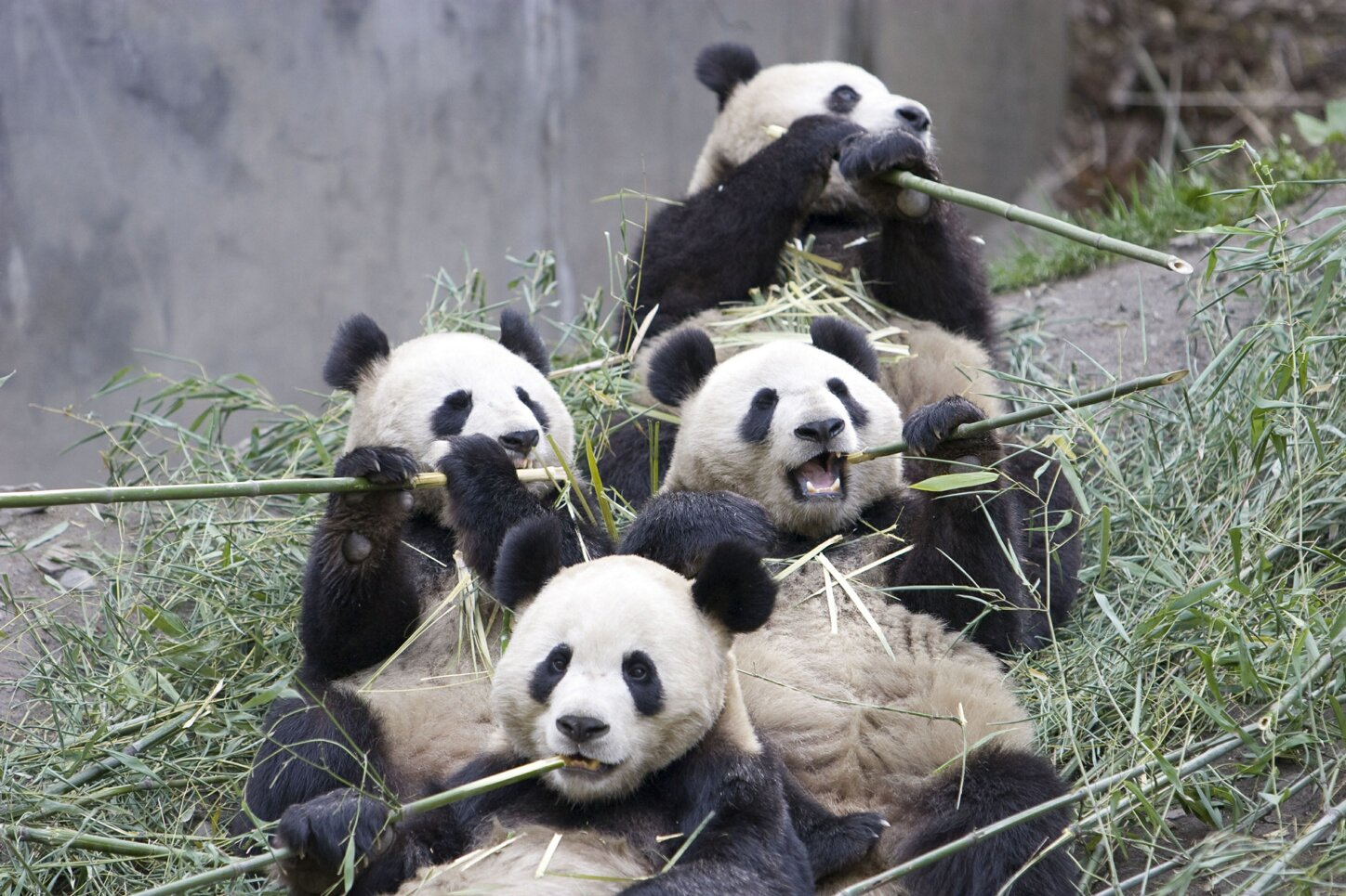 Giant Panda Information and Images