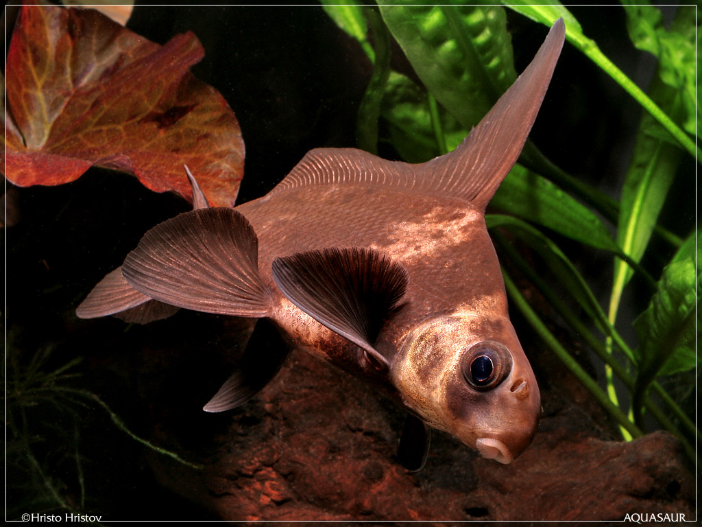 ZA FISH ACTION: Chinese High Fin Banded Shark (Myxocyprinus asiaticus ...