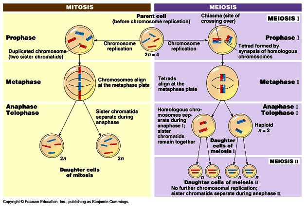 Worksheets Comparing Mitosis And Meiosis difference between mitosis and meiosis 32 differences biology meiosis