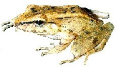 Rã-da-Mata (Eleutherodactylus binotatus)