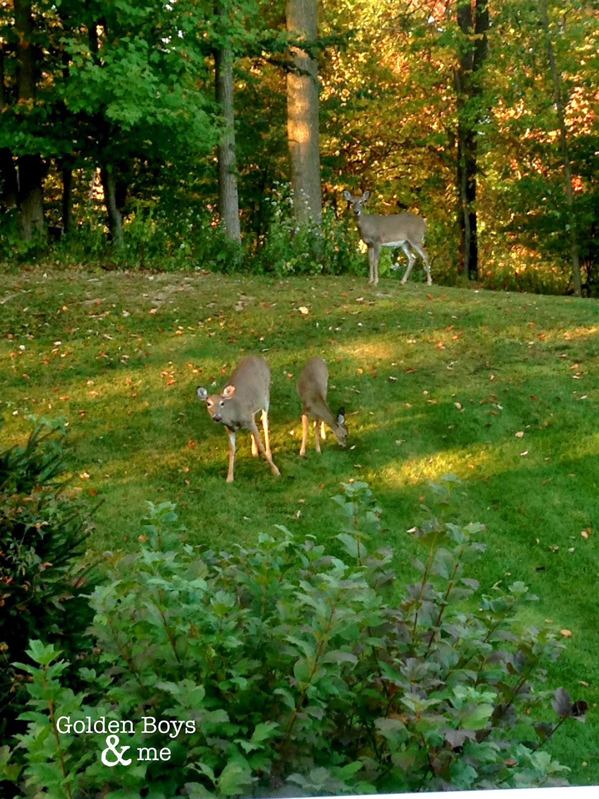 3 deer in NJ backyard in Fall-www.goldenboysandme.com