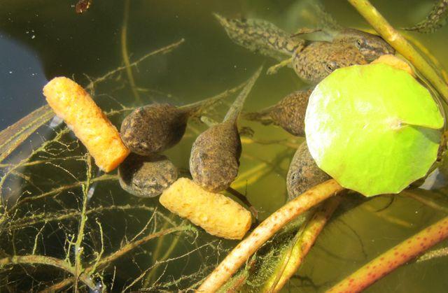 Can Tadpoles Eat Goldfish Food
