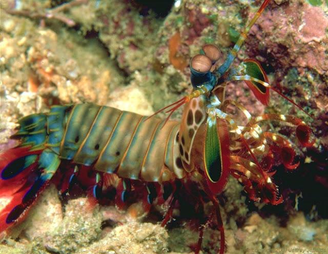 أجمل 10 أسماك ملونة في عالم البحار '' بالصور '' Mantis-Shrimp11.jpg