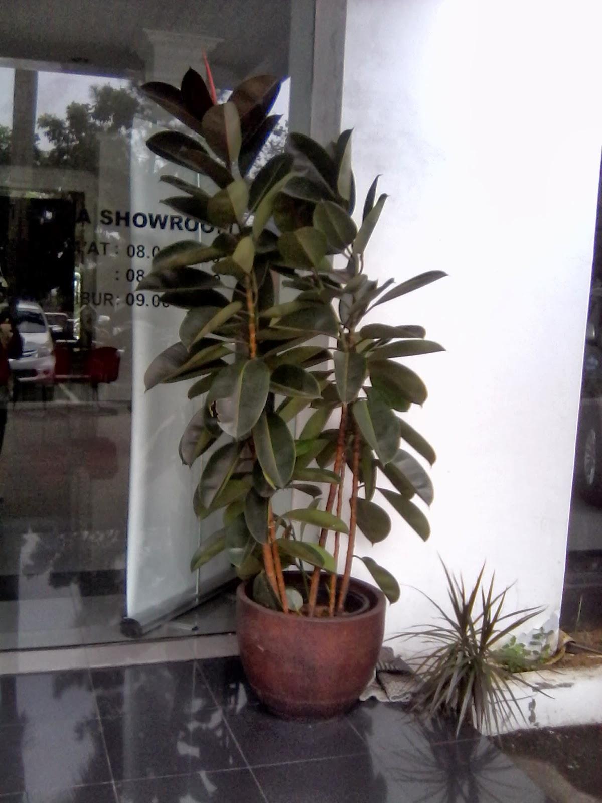 tanaman indoor berdaun lebar