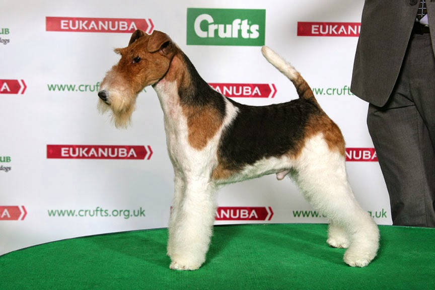 Wire fox terrier breeders seattle