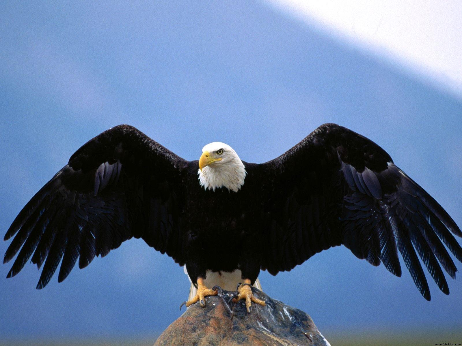http://4.bp.blogspot.com/-sXzsgkoL0O0/TjhwxBBVL0I/AAAAAAAAAFw/MESXmUpSQ90/s1600/Wingspan%2BBald%2BEagle.jpg