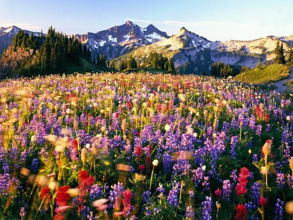 Wildflower fields of Mt Rainier National Park