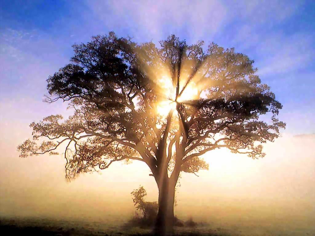 Sunrise through an American Oak Tree