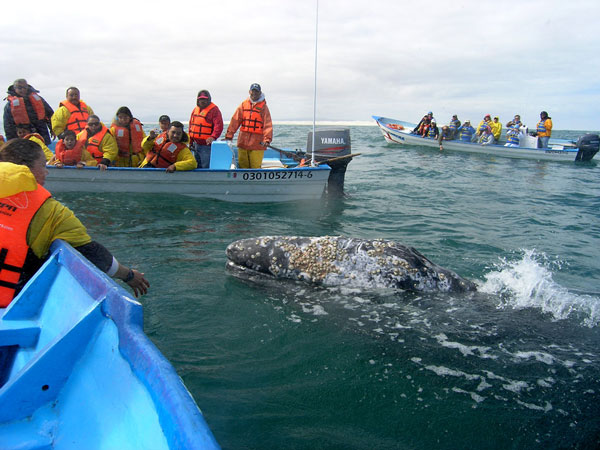 Ballena gris en Baja California, Mxico