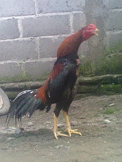 Koleksi Foto-foto Ayam Bangkok