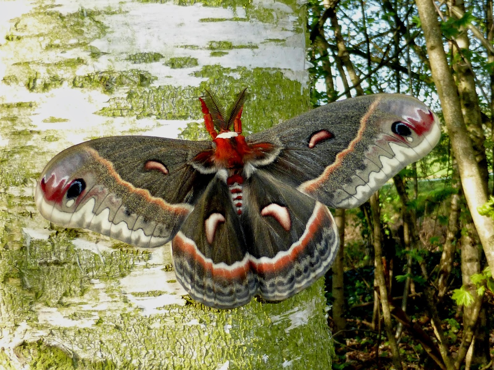 Hyalophora cecropia x kasloensis hybrid male