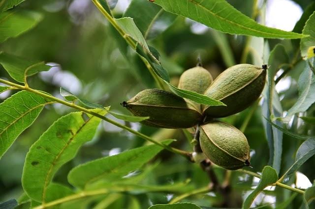 Cara Alami Mengatasi Uban Di Usia Muda dengan buah kemiri