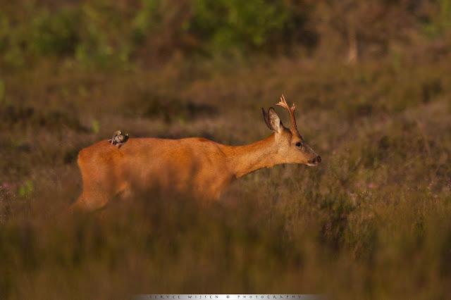 Ree & Graspieper - Roe Deer & Meadow Pipet - Capreolus capreolus & Anthus pratensis