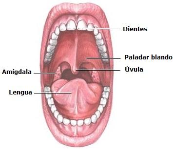 Dibujo de la boca del cuerpo humano