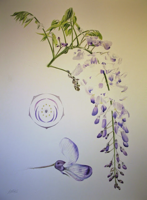 Wisteria chinensis botanical illustration