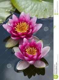 Water Lilies in Pond at Deva Chakra for Breast Healing