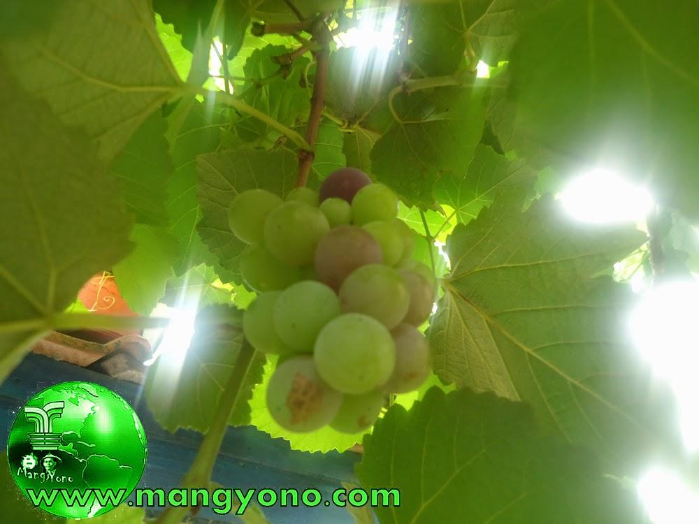 pohon anggur dapat berbuah kapan saja tidak tergantung musim.