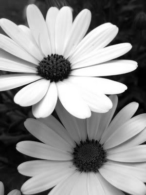 black and white pictures of daisies