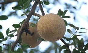 Manfaat dan khasiat buah ganista atau kawista atau kinco atau Elephant Wood Apple