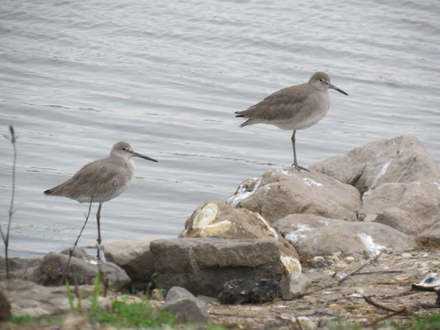 Willets along the north levee of Pleasure Island