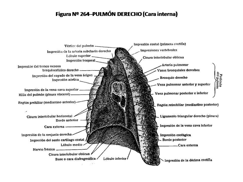 ATLAS DE ANATOMÍA HUMANA: 264. PULMÓN DERECHO (CARA INTERNA).