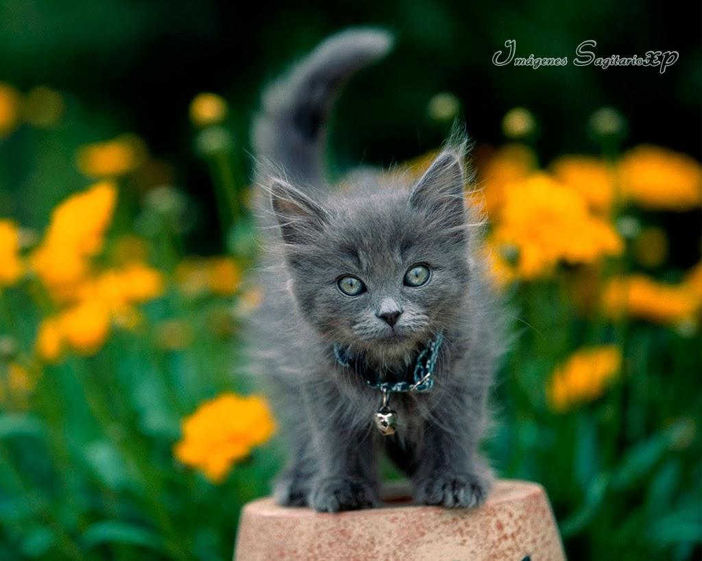 lindo-gatito-gris-en-jardin-con-flores-naranjas.jpg