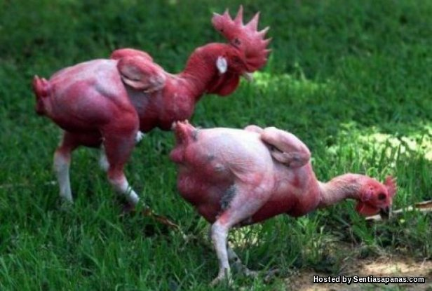 Ayam Telanjang