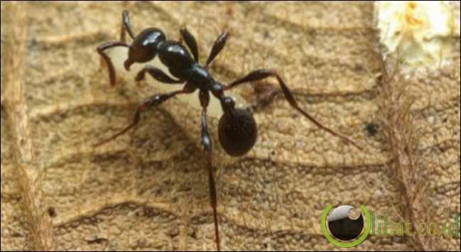 Lalat Larva Semut