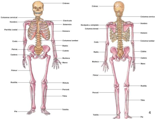 EL CUERPO HUMANO. EDUCACIÓN PRIMARIA: Los huesos del cuerpo humano