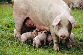 Самые распостранненые болезни свиней