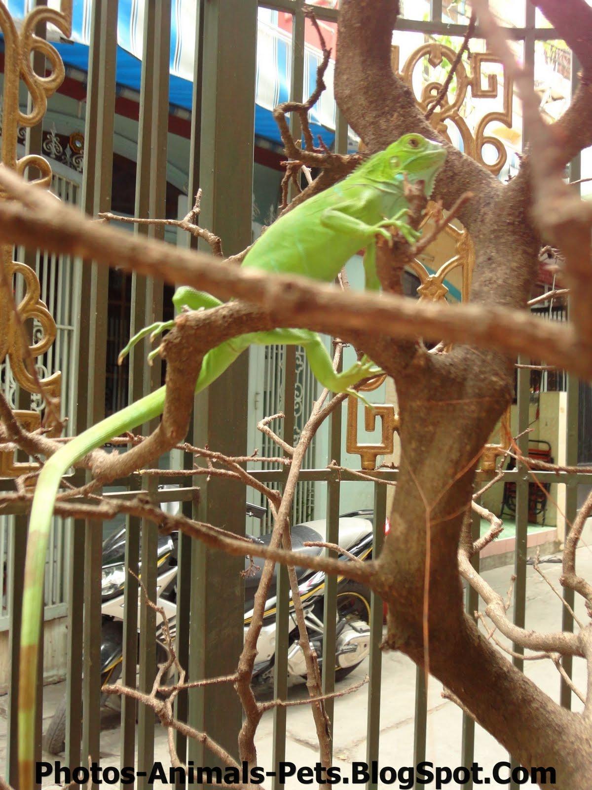 http://4.bp.blogspot.com/-sawrtU2u-X4/TxG43TBrK3I/AAAAAAAACvo/JgrTmXAZTQQ/s1600/Pets%2BGreen%2BIguana.jpg
