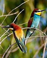 De bijeneter is een prachtig kleurrijk vogeltje, dat onder meer in Zuid-Afrika overwintert.