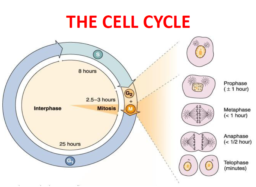 MBBS Medicine Humanity First Cell division – Cell Cycle and Mitosis Worksheet