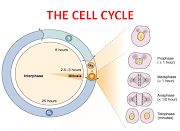 . a constriction develops at the equatorial plane of the parent cell and .