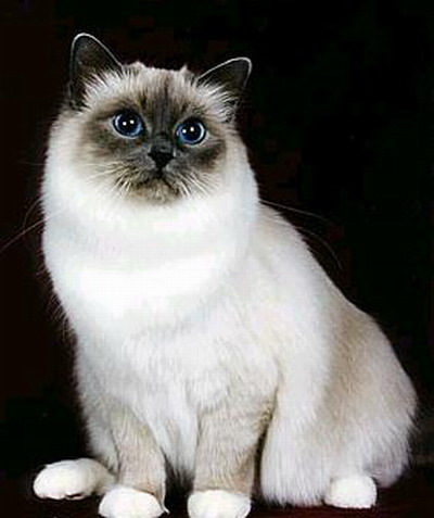 Temperament and Personality of Birman Cats