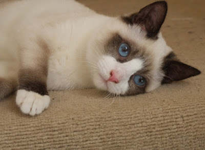 http://meonginfo.blogspot.com/2015/06/jenis-kucing-snowshoe.html