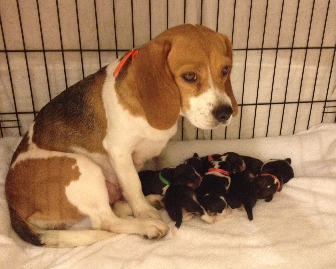 Ohmer's Westside Beagles: Six new puppies come to Westside ...