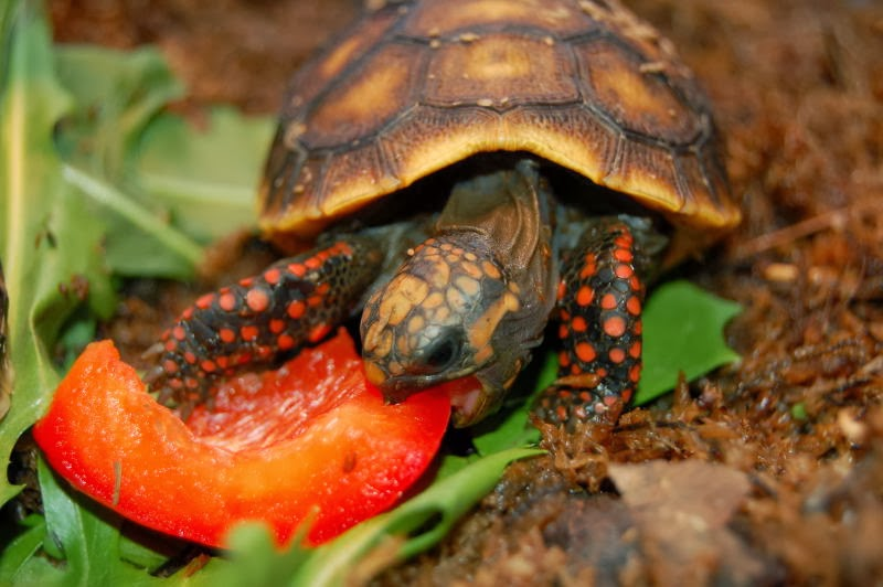 Image result for red footed tortoise eating