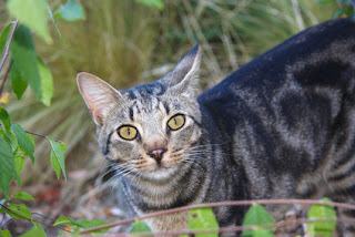Feral Cat in the Woods